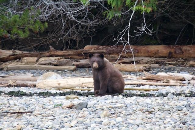 Kleiner Grizzlybär Westküste Kanada