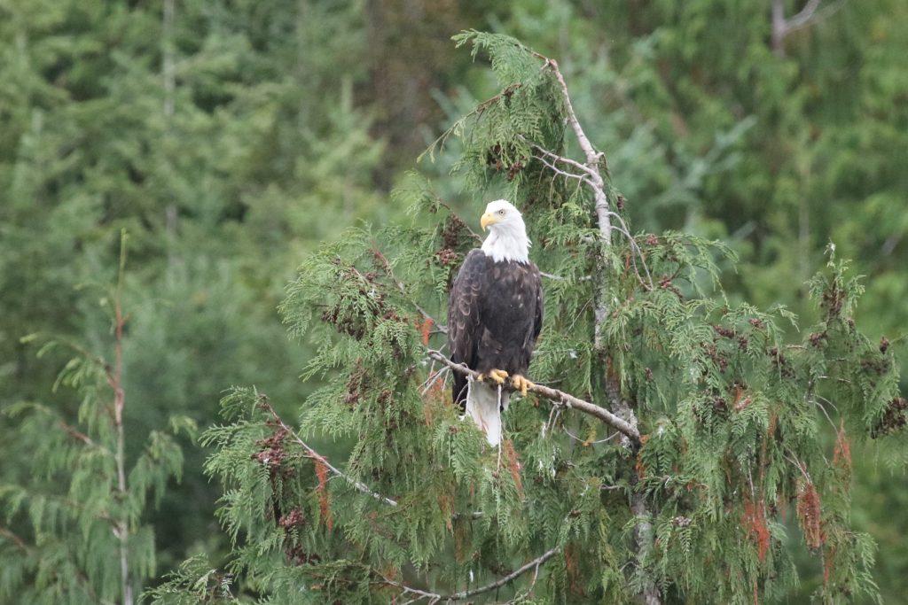 erdrot-travel, Kanada, Weißkopfseeadler